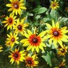"Rudbeckia ""Autumn Colors"" seeds"