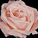 Make Your Own Rose Water Recipes eBook