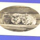 RPPC Three Cute Very Fluffy Cats Unused Postcard Velox