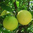 Key Lime shea butter/olive oil soap 5.00 oz.