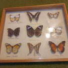 Vintage Philippine Butterfly Display