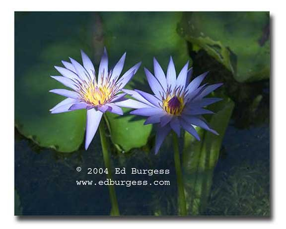 """""""Morning Show """" Water Lillies Flowers Pond Photo Print Art Wall Decor"""