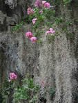 """Crepe Myrtle &  Spanish Moss"" Spanish Moss Crepe Myrtle South Carolina Southern Photo"