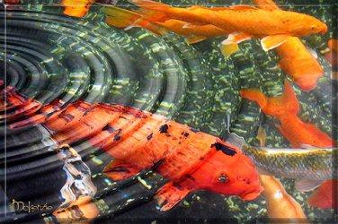 Japanese ART Huge Orange Koi fish Feng shui PAINTING
