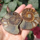 Natural African Madagascar Ammonite Shell fossil