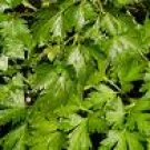 Italian Flat Leaved Parsley Seeds