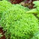 Basil Seeds - Spicy Globe