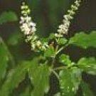 Basil Seeds - Indian  RARE!