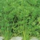 Celery Leaf Seeds