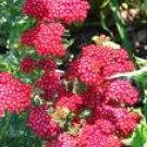 Red Yarrow Seeds
