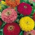 Zinnia Seeds - Dahlia Mixed Colors