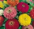 Zinnia Seeds - Dahlia Mixed Colors