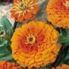 Zinnia Seeds - Orange King