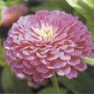 Zinnia Seeds - Purple Prince