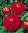 Zinnia Seeds - Cherry Queen