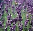 Whole Lavender Flowers