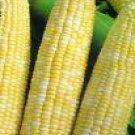 Corn/Honey and Cream Hybrid