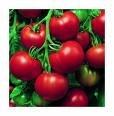Super Sioux Tomato