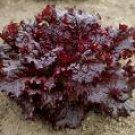 Cimmaron (Red) Romaine Lettuce