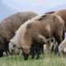 Sheeps*02*