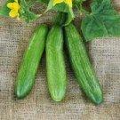Beit Alpha Lebanese Cucumber Seeds (Bulk) -100