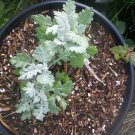 20 SEEDS DUSTY MILLER SILVER DUST