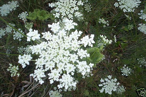 20 SEEDS QUEEN ANNE'S LACE