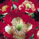 10 SEEDS DANEBROG LACED BREADSEED POPPY