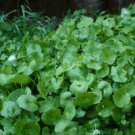 20 SEEDS PURSLANE WINTER INDIAN LETTUCE