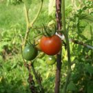 20 SEEDS TOMATO LARGE RED CHERRY HEIRLOOM