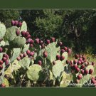 Texas Prickly Pear  Fine Art Photography