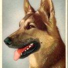 Divided Back Postcard. Police Dog [German Shepherd, Alsatian]