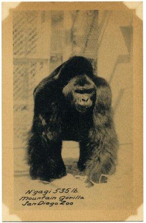 N'gagi 535 lb. Mountain Gorilla Vintage 1940's Real-Photo PC