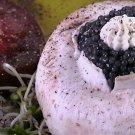 Fresh Sevruga Caviar :: Classic Sevruga Caviar - 8 ounces