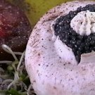 Sevruga Caviar :: Purchase Sevruga Caviar - Classic Sevruga Caviar 1Kilo