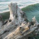 Lake Ontario Driftwood