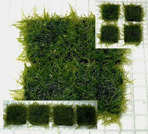 Java moss carpet grown on 2 inch square tiles