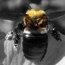 Bee Print filtered b&w 4x 6