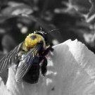 Bee Print B/W filtered 5x7