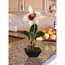 Cattleya w/Classic Black Vase - Cream Burgundy