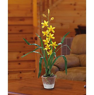Cymbidium Yellow w/White Wash Pot