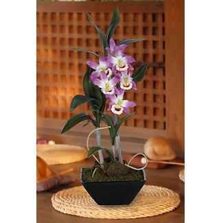 Dendrobium Pendulum w/Classic Black Vase