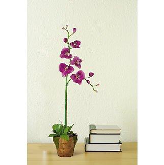 Phalaenopsis w/Moss Pot