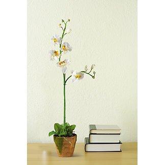 Phalaenopsis W/Moss Pot - Cream