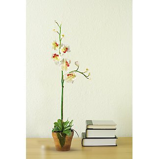 Phalaenopsis w/Moss Pot - Linde