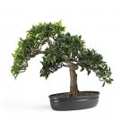 "16"" Japanese Ficus Bonsai Tree"