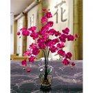 Phalaenopsis Liquid Illusion - Beauty