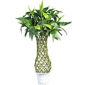 "42"" Fat Lucky Bamboo Silk Tree"