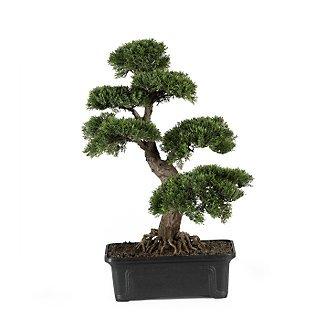 Cedar Bonsai Tree 24 in