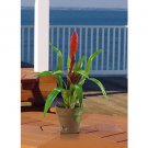 Potted Single Sword Bromeliad - Red